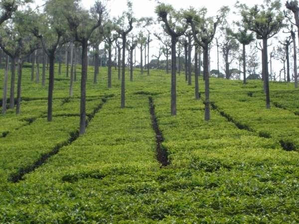 Tea Garden At Ooty - My Click My Pick