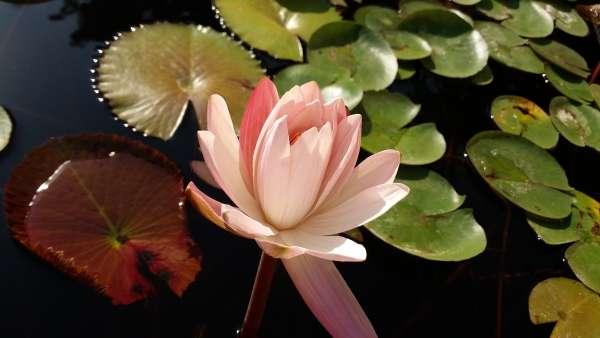 A Delightful Lotus - My Click My Pick