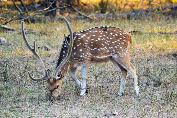Antlered Beauty - My Click My Pick