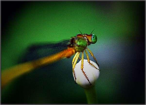 Dragon Fly... - My Click My Pick