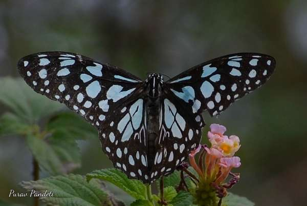 Blue Tiger Butterfly - My Click My Pick